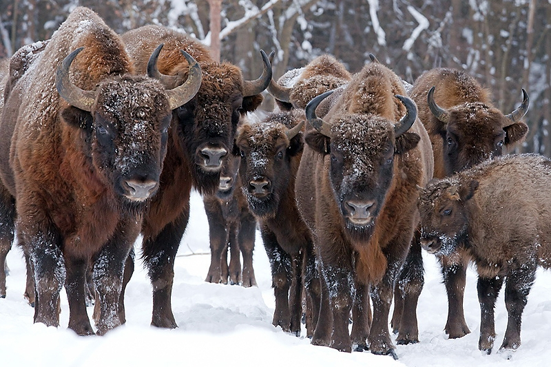 The bison: a woolly giant representing the spirit of the Belarusian nation