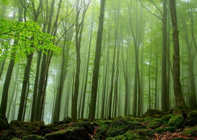 Primeval Beech Forests of the Carpathians and Other Regions of Europe: Beech Forest - Component Central Balkan